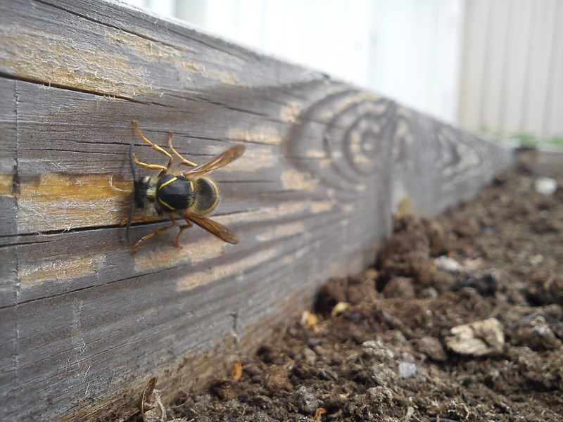 wasp, sweden, collecting