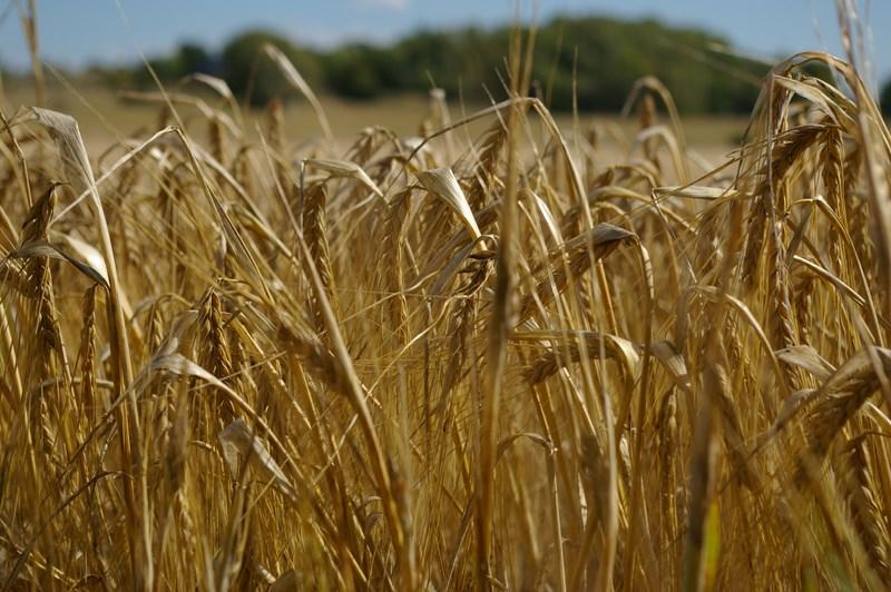 barley_grain.aug.2013