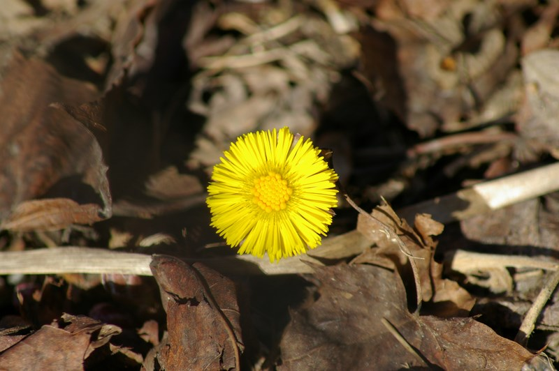 coltsfoot.mars.2014